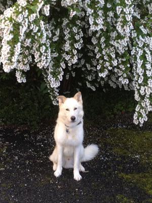 Hiro-arbre-en-fleurs